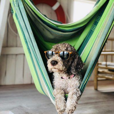 cão com óculos a descansar num pano. Rosa Teate